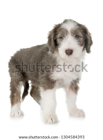 puppy bearded collie in front of white background #1304584393