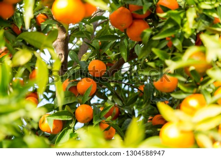 Clementines on a fruit tree #1304588947