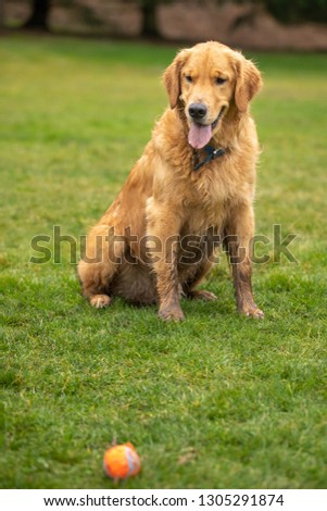 Purebred golden retriever dog sitting on a grass lawn and looking at a ball, in a fetch concept with space for text on bottom #1305291874