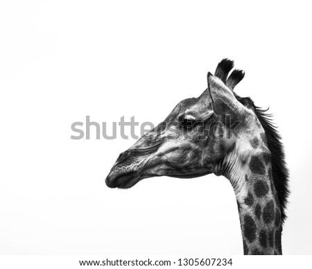 A fine art portrait of a giraffe #1305607234