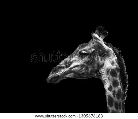A fine art portrait of a giraffe. #1305676183