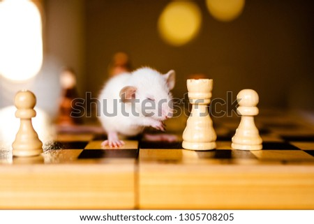 Cute little white rat with big ears siting on the chess board on the warm yellow background. #1305708205