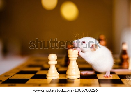 Cute little white rat with big ears siting on the chess board on the warm yellow background. #1305708226
