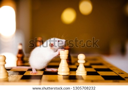 Cute little white rat with big ears siting on the chess board on the warm yellow background. #1305708232