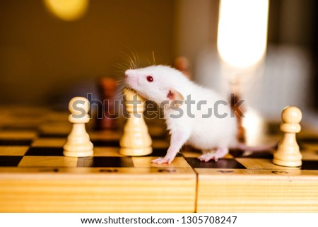 Cute little white rat with big ears siting on the chess board on the warm yellow background. #1305708247