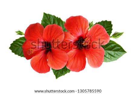 Hibiscus flowers in tropical arrangement isolated on white. Top view. #1305785590