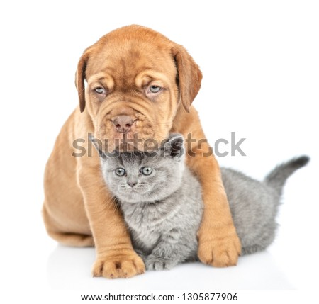 Cute mastiff puppy embracing kitten. isolated on white background #1305877906
