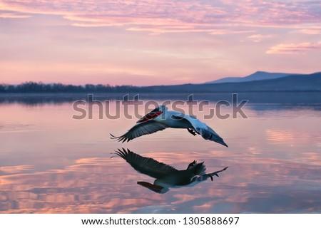 pelican flying over water in sunrise, pelican in sunrise colors flying over a lake Royalty-Free Stock Photo #1305888697