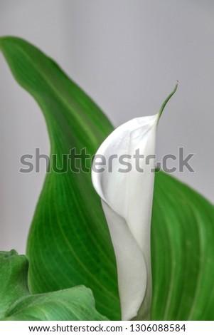 White Kala flower on a light background close up #1306088584