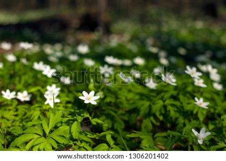 Anemone nemorosa flower in the forest in the sunny day. Wood anemone, windflower, thimbleweed. Fabulous green forest with blue and white flowers. Beautiful summer forest landscape. #1306201402