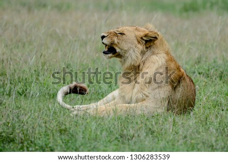 Walking lion in African #1306283539