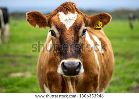 Brown cow in field #1306353946