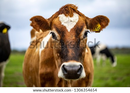 Brown cow staring at me Royalty-Free Stock Photo #1306354654