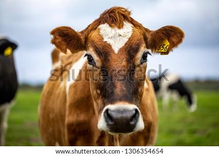 Brown cow staring at me #1306354654