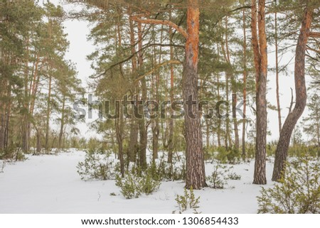 The end of winter. February month. Pine forest.Nature in the vicinity of Pruzhany, Brest region, Belarus.  #1306854433