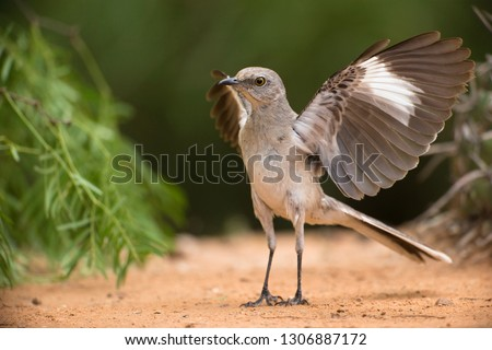Northern Mockingbird, Mimus polyglottos, at pond, South Texas, United States