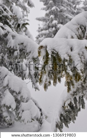 beautiful snow-covered branches of Christmas trees #1306919803
