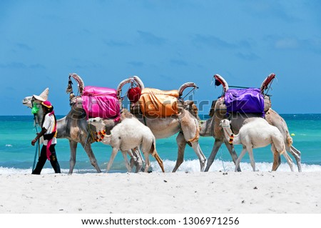 Tunisia. (South Tunisia) Djerba island. Beach of Sidi Mehrez. Camels use for sightseeing tours #1306971256