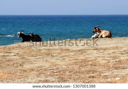 Two kri-kri wild goates on the Greek beach, by the sea, Greece  #1307001388