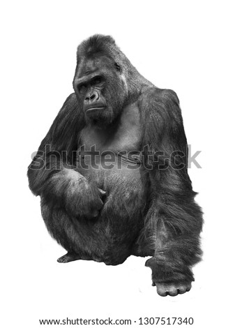 Gorilla, the family of primates on white isolated background #1307517340