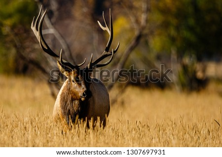 A bull elk pauses during the rut in Colorado Royalty-Free Stock Photo #1307697931