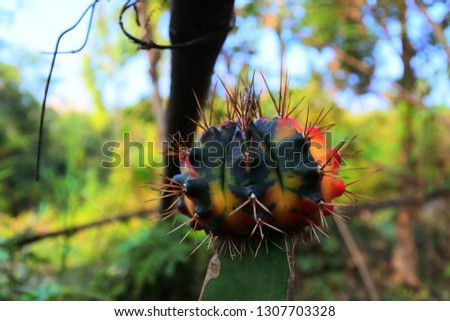 Gymnocalycium mihanovichii cactus #1307703328