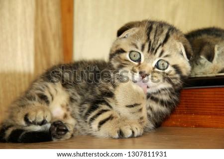Cute little purebred kitten licks his paw #1307811931