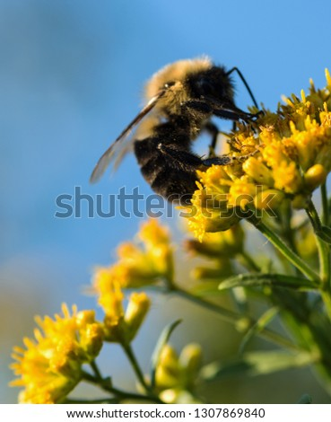 Macro photo of a bumble on a spray of yellow goldenrod, against a background of blue sky. #1307869840
