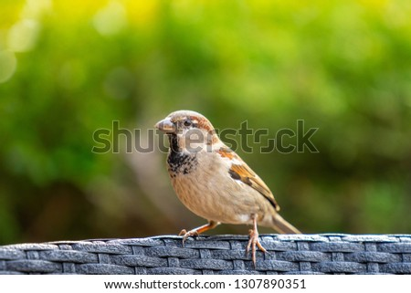 House sparrow or Passer domesticus. It is a bird of the sparrow family Passeridae, Sparrow can be found in most parts of the world