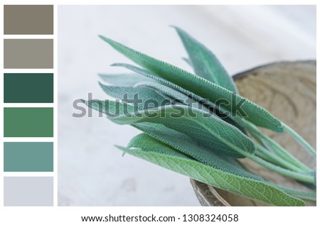 Earth and greenery color palette swatches of complementary tones. Fresh sage leaves in coconut bowl on white gray stone background. Template for website design interior paints branding