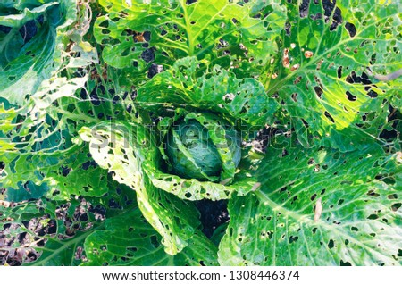 Cabbage leaves eaten by slugs, parasite spoils the harvest. Royalty-Free Stock Photo #1308446374