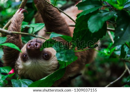 Portrait of a two-toed sloth in Costa Rica