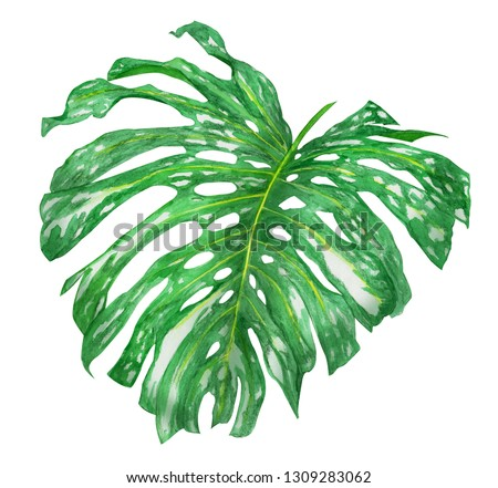 Tropical leaf of Monstera plant, Swiss cheese plant isolated on white background. Watercolor hand drawn illustration. #1309283062