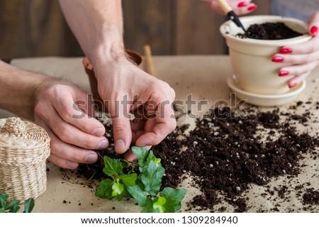 Plant transplantation. Home flora care. Eco family concept. Couple hands replanting houseplant. #1309284940
