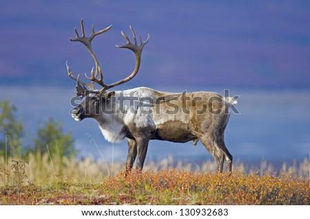 Male Caribou Grazing on Toklat River Basin Royalty-Free Stock Photo #130932683