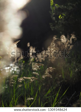 reeds and grass by the lake #1309348624