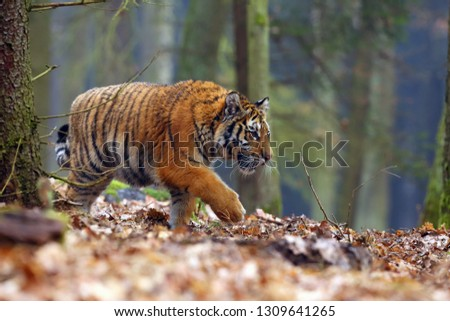 The Siberian tiger (Panthera tigris tigris),also called Amur tiger (Panthera tigris altaica) walking through the forest. Young tiger in the in a natural environment. #1309641265