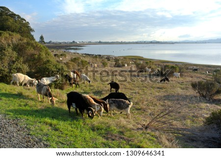 Goats Visiting Point Pinole. Royalty-Free Stock Photo #1309646341