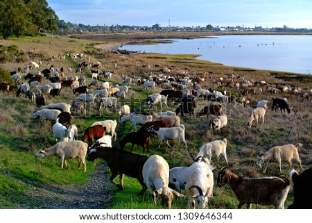 Goats Visiting Point Pinole. Royalty-Free Stock Photo #1309646344