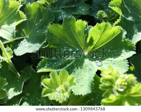 Morning water dew drops on fresh green geranium leaves #1309843768