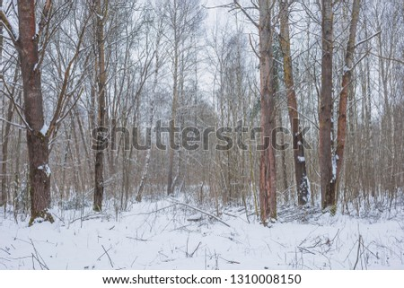 Winter day in the forest. Nature in the vicinity of Pruzhany, Brest region, Belarus. #1310008150