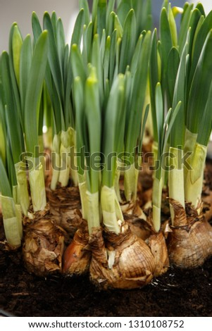 Green tulip bulbs in pots.Plant new flowers in garden.Flower bulb in close up.Put new plants in soil beds.Gardening and botany concept #1310108752