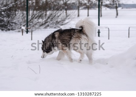 Siberian husky on cold winter day playing in dogs playground, lots of snow #1310287225