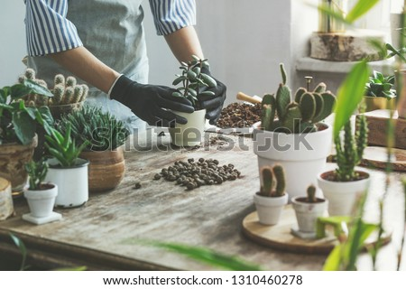 Woman gardeners hand transplanting cacti and succulents in cement pots on the wooden table. Concept of home garden. #1310460278