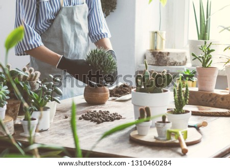 Woman gardeners hand transplanting cacti and succulents in cement pots on the wooden table. Concept of home garden. #1310460284