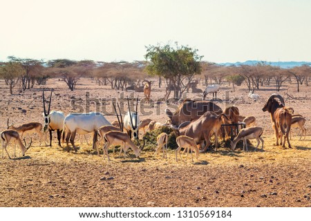 Group of antelopes and mountain sheep in a safari park on the island of Sir Bani Yas, United Arab Emirates #1310569184