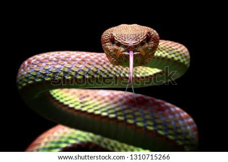Manggrove Pit Viper snake closeup face, animal closeup