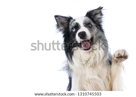 Border collie lying on wite background and lift the paw #1310745503