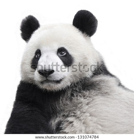 Panda bear isolated on white background #131074784