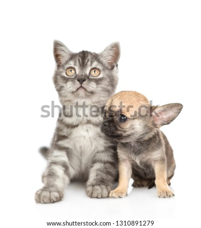 Chihuahua puppy sitting with tabby kitten. Isolated on white background #1310891279